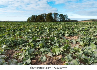 Germination of new canola plants in agricultural field.