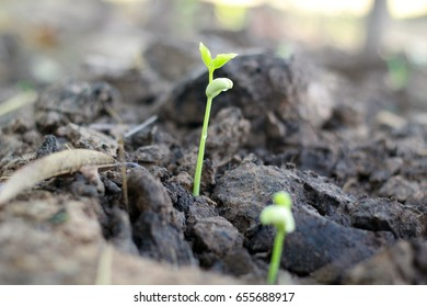 Germination is the process by which an organism grows from a seed or similar structure.