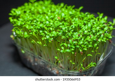 Germination of seeds for nutrition. Seedlings Micro Greens