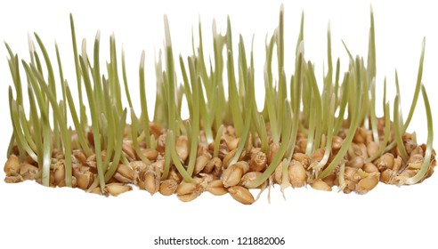 germination of wheat isolated on white background,  with clipping path