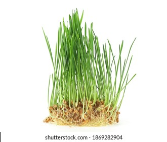 Germs of young wheat isolated on a white background. Wheat sprouting. Fresh wheat grass.