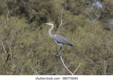 Gery heron - Shutterstock ID 380776045