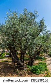 Gethsemane Garden in the eternal Jerusalem. Ancient olive trees under the hot autumn sun. Eight very ancient olives grow in the Garden of Gethsemane. The concept of historical, religious tourism