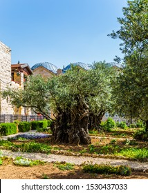Gethsemane Garden Eternal Jerusalem. Ancient olive trees under the hot autumn sun. Eight very ancient olives grow in the Garden of Gethsemane. The concept of historical, religious and ethnographic