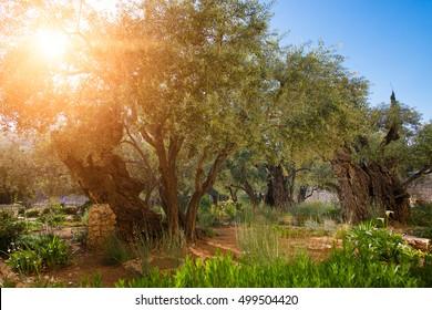 Gethsemane olive orchard. Garden of Gethsemane, Jerusalem, Israel.