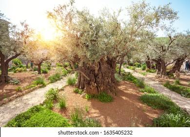 Gethsemane's Olive Garden and Pilgrimage Site near Church of Mary Magdalene in Jerusalem, Israel