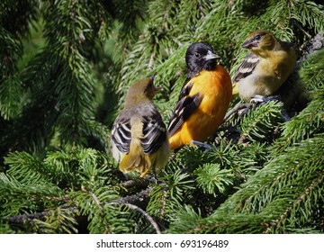 """""""Getting An Earful"""" One of the new Baltimore Oriole offspring demanding that Dad go find more bugs for him to eat."""