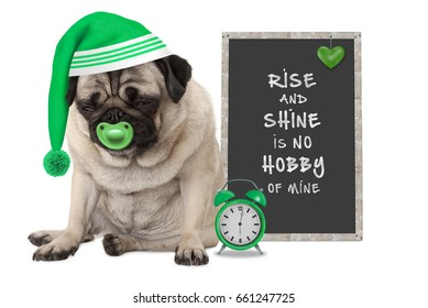 getting up in early morning, grumpy pug puppy dog with sleeping cap, alarm clock and sign with text rise and shine is no hobby of mine, isolated on white background