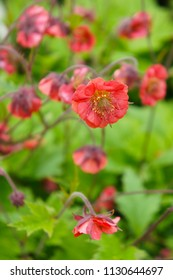 Geum or avens flames of passion red flowers
