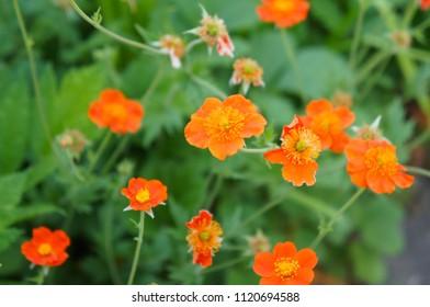 Geum coccineum borisii or dwarf orange avens red flower with green background