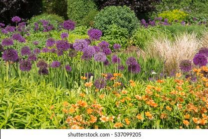 Geum 'Dolly North' (Avens) and Allium hollandicum 'Purple Sensation' (Dutch Garlic or Persian Onion) in a Flowerbed in a Country Cottage Garden in Rural Devon, England, UK