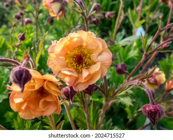 Geum 'Mai Tai' in bright sunlight. Vermilion fllowers with ruffled petals fading to peach and pink. Blooming from late spring to mid-summer