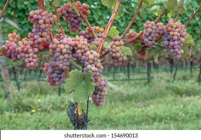 Gewurztraminer Grape Variety at Wine Route near Merano,South Tirol,Trentino,Italy