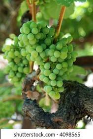 Gewurztraminer grapes