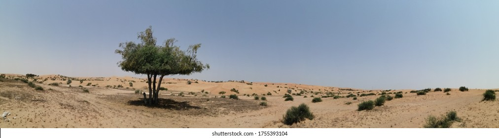 Ghaf trees (Prosopis cineraria) in the arid desert sand dunes of the United Arab Emirates where it is the national tree. The tree is also native to Oman, Saudi Arabia, Bahrain, Iran, Pakistan, India.