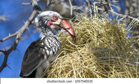 Ghanzi - Botswana / July 2017: Red billed Hornbill stealing eggs from smaller bird nest near petrol station on the local village south of Ghanzi.