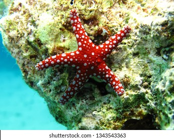 Ghardaqa sea star (Fromia ghardaqana) Taking in Red Sea, Egypt.