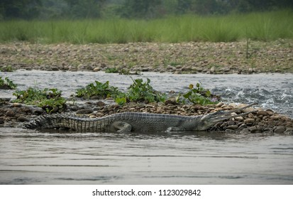 gharial or false gavial on the river bank. Wildlife animal photo in Asia
