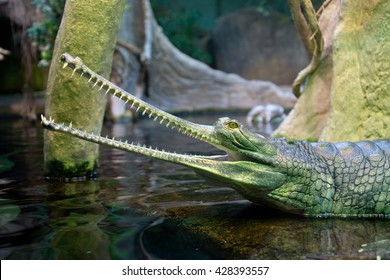 Gharial (Gavialis gangeticus), also knows as the gavial. Indian crocodile