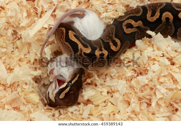 Ghi Ball Python Eats Mice Stock Photo (Edit Now) 459389143