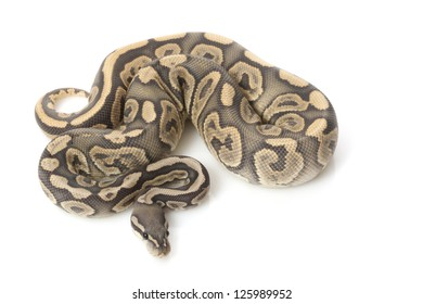 Ghost black pastel ball python (Python regius) isolated on white background.