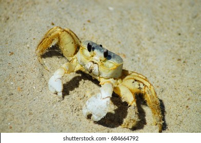 Ghost Crab Crawling on an Outer Banks Beach