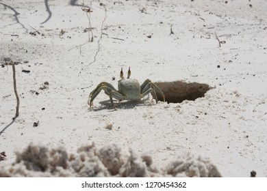 Ghost crab, getting out of his hole in the sand on a beach in the Maledives