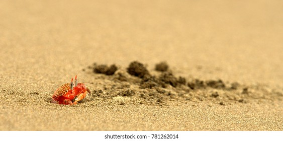 Ghost Crab (Ocypode Spp.) with eye stalks extended, explores a Pacific beach in Panama, Latin America.  These small crabs are common on tropical ocean beaches around the world.