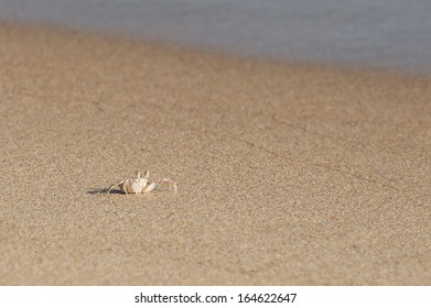 Ghost crab walking on the sand of the beach. Scientific name is Ocypode Ceratophthalama.