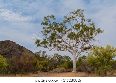 A ghost gum, the biggest tree in all of Australia, has lived for almost 400 years.