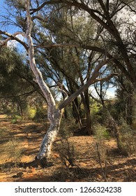 Ghost gum tree on the banks of the Murchison River.