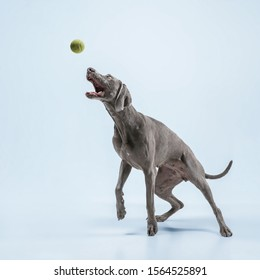 Ghost runner. Weimaraner dog is playing with ball and jumping. Cute playful grey doggy or pet playful catching toy isolated on blue background. Concept of motion, action, movement, pets love.