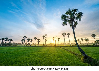 AN GIANG, VIETNAM - OCT 10, 2016 - Sugar palm trees on the paddy field in early morning. Mekong Delta, Chau Doc, An Giang, Vietnam. Loc Troi