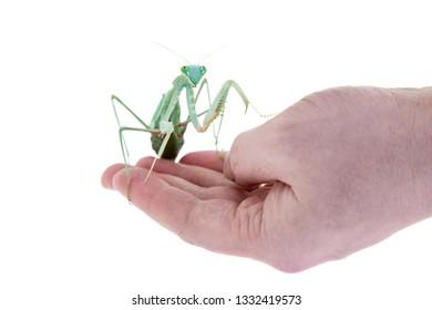 Giant african mantis, Sphodromantis viridis, on hand
