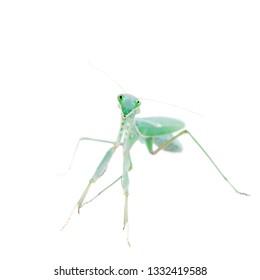Giant african mantis, Sphodromantis viridis, on white