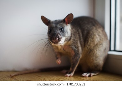 Giant african pouched rat in front of window