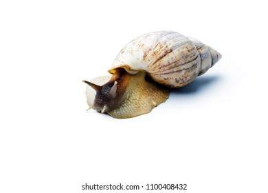 Giant african snail isolated on white background. Achatina fulica