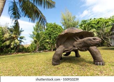 Giant Aldabra tortoise (Aldabrachelys gigantea) on Curiouse island in Seychelles.