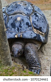 Giant aldabra turtle close-up in Singapore. Huge Geochelone tortoise with a colorful shell. Large sluggish reptile.