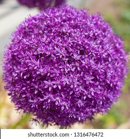 Close–up of giant Allium purple flower. Tiny intricate flowers on thin hollow stems inside rounded shape of the allium plant in spring.