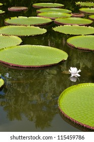 Giant, amazonian lily in water at the Pamplemousess botanical Gardens in Mauritius