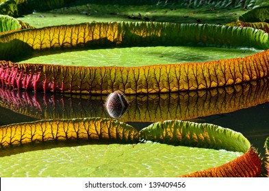 Giant, amazonian lily in water at the Pamplemousess botanical Gardens in Mauritius. Victoria amazonica, Victoria regia