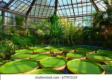 Giant amazonian lotus at the botanic garden from Cluj-Napoca, Transylvania, Europe