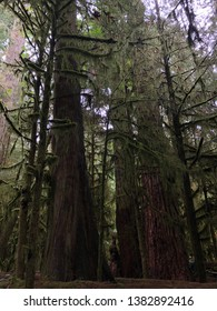 Giant ancient trees in Cathedral Grove, Canada
