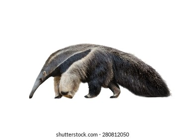 Giant ant-eater male walking isolated over a white