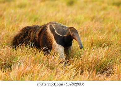 giant anteater (Myrmecophaga tridactyla) in Colombia