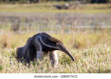 Giant anteater in Pantanal