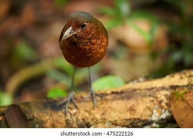 Giant Antpitta, Grallaria gigantea, rare bird, vulnerable, living in wet primary montane forest. Close up photo, shy bird in wet tropical forest environment. Colombia.