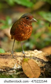 Giant Antpitta, Grallaria gigantea, rare bird, vulnerable, living in wet primary montane forest. Vertical, close up photo, shy bird in wet tropical forest environment. Colombia.