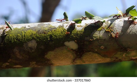 Giant Ants Carrying Leaves